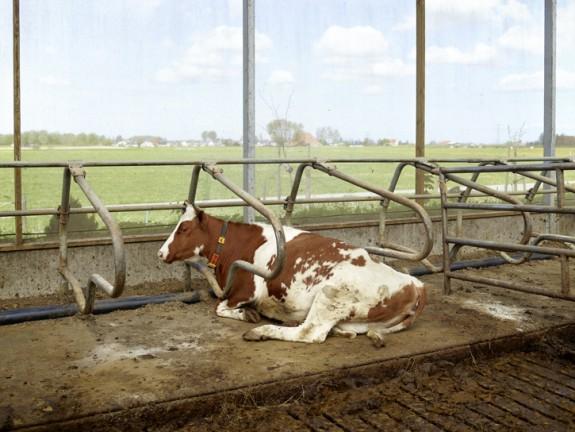 koe bij wei